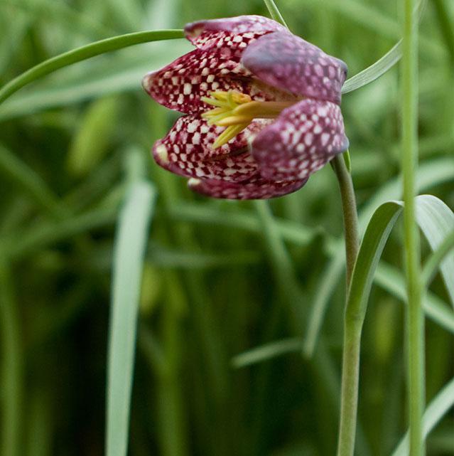 Fritillaria-meleagris-zoom