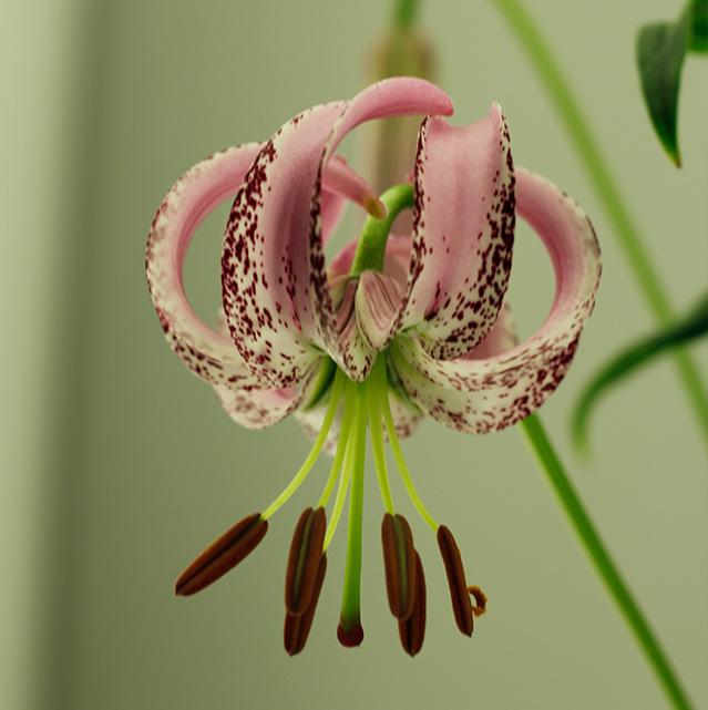 Lelie-langonense