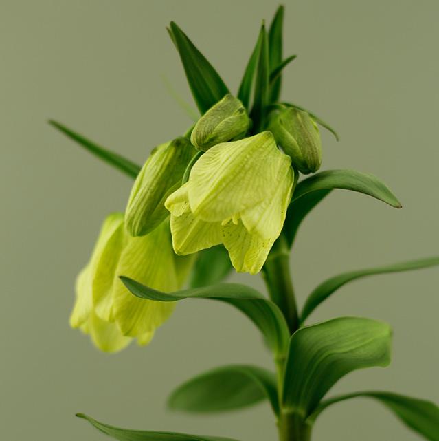 pallidiflora